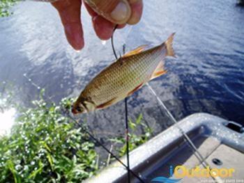 Bass Fishing and Shiners