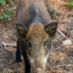 Hogs - Florida hunting season fwc