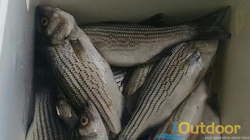 Florida Fishing Hybrid Striped Bass
