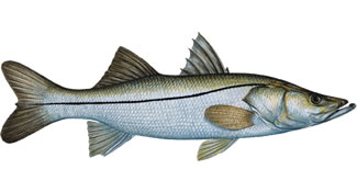 Snook - Know Your Fish