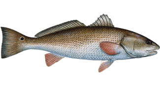 Redfish - Know Your Fish