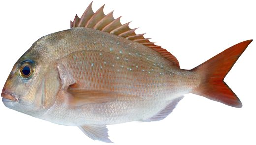 What Kind of Bait Do You Use to Catch SNAPPER in Stuart?