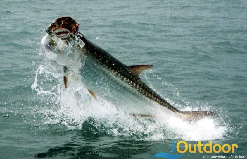 Tarpon fishing tampa florida ioutdoor fishing adventures for Tarpon fishing tampa